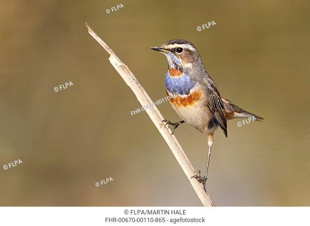 Bluethroat (Luscinia svecica) adult male, breeding plumage, perched on reed stem, Hong Kong, China, December