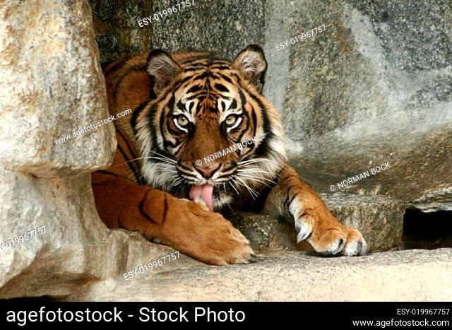 Tiger ruhend, Panthera tigris