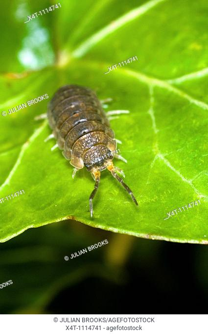 Extreme close up of the common woodlouse Oniscus asellus on a leaf