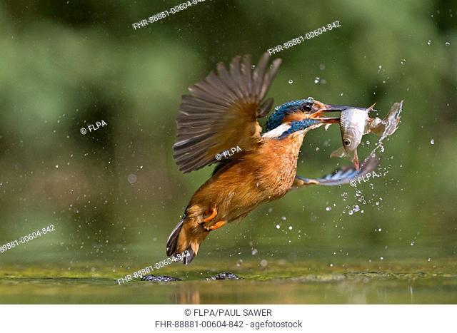 Common Kingfisher (Alcedo atthis) adult female, in flight, emerging from water with 2 Common Rudd (Scardinius erythropthalamus) prey in beak, Suffolk, England
