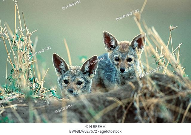 black-backed jackal Canis mesomelas, two youngs