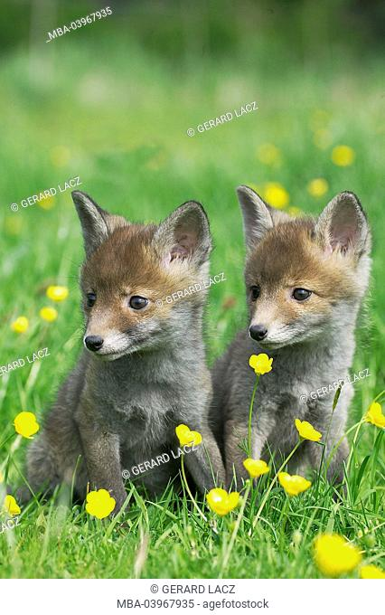 Red Fox, Vulpes vulpes, Cubs sitting in Yellow Flowers