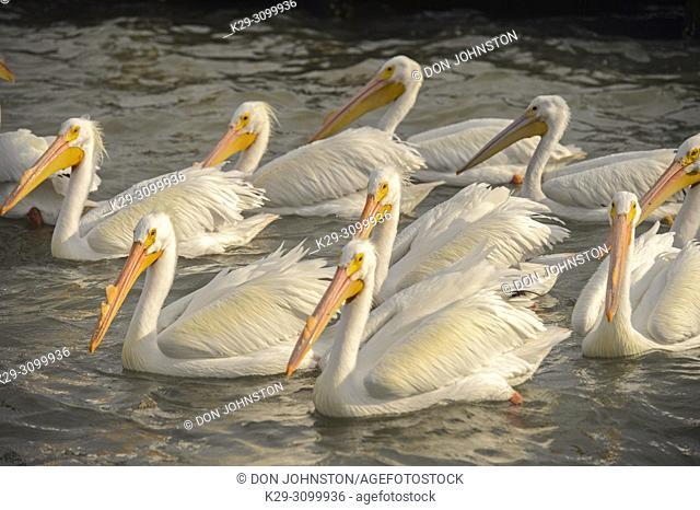 American white pelican (Pelecanus erythrorhynchos), Goose Island State Park, Texas, USA