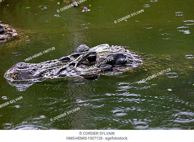Brazil, Amazonas state, Amazon river basin, black caiman (Melanosuchus niger)