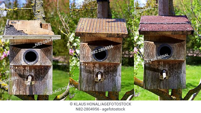 Image left:.Starling nest box (Sturnus vulgaris) was looted at night by a Stone Marten or Beech Marten (Martes foina). The marten has eaten a hole into the roof...