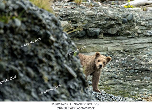 A Brown bear spring cub peeks out from behind a bluff on the beach at the lower lagoon at the McNeil River State Game Sanctuary on the Kenai Peninsula, Alaska