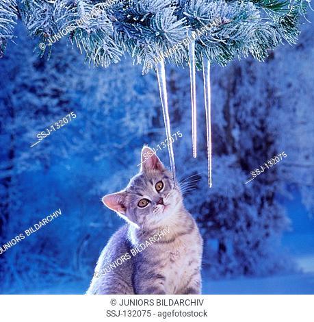 British Shorthair kitten next to icicles restrictions:Tierratgeber-Bücher / animal guidebooks, puzzles worldwide, mobile phone content worldwide