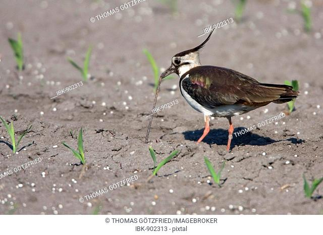 Northern Lapwing, Peewit or Green Plover (Vanellus vanellus) eating an earthworm