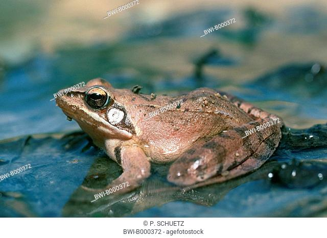agile frog, spring frog (Rana dalmatina), sitting on a leaf in the water, side view