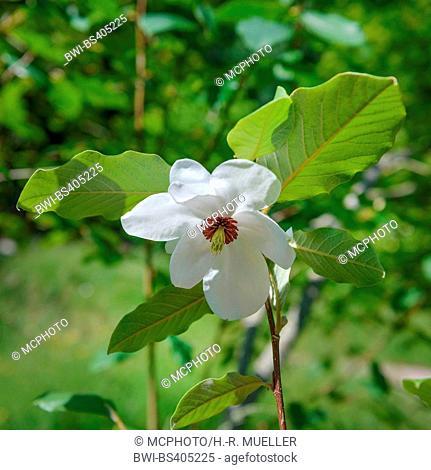 Wilsons magnolia (Magnolia wilsonii), flower, United Kingdom, England