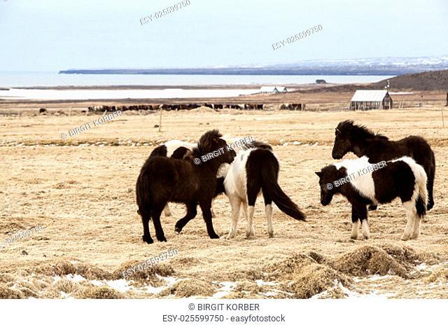 Herd of Icelandic horses on a meadow in spring