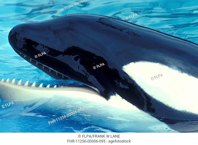 Whale - Killer Orcinus orca Head showing out of water /mouth open / close-up/Sea World