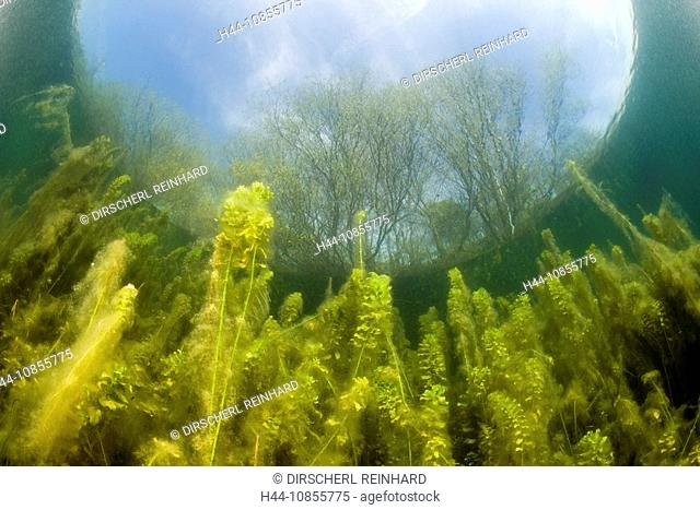 10855775, Waterplants, Freshwater Lake, Germany, E