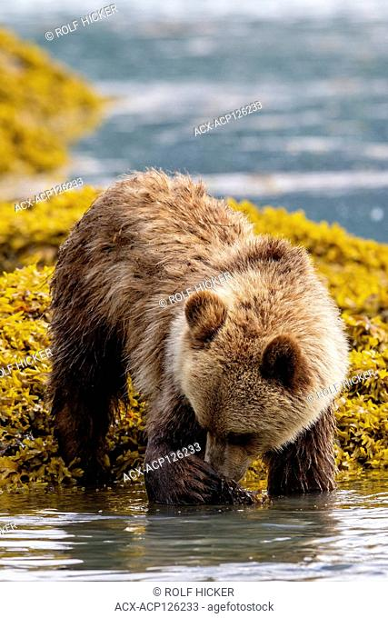 Grizzly bear cub foraging along the Great Bear Rainforest coastline at low tide, First Nations Territory, British Columbia, Canada
