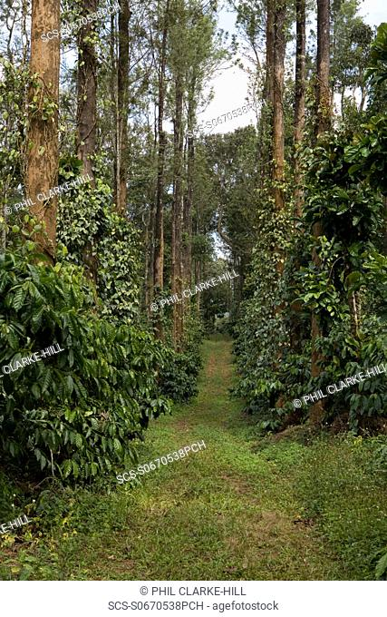 Coffee grove with coffee plants and black pepper trees and a passageway down the middle, Jyothi estate, Appangala, Coorg / Kodagu, Karnataka, India