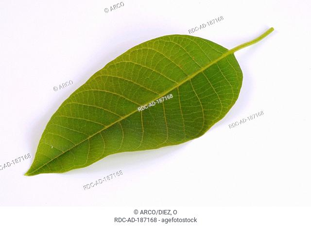Common Walnut, leaf, Juglans regia, English Walnut, Persian Walnut