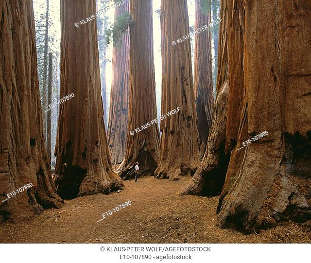 'The Senate' in Sequoia National Park. California, USA