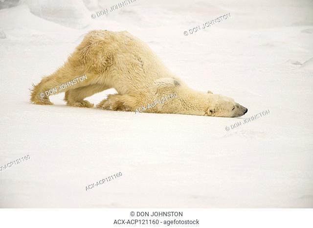 Polar Bear (Ursus maritimus) Grooming behaviour