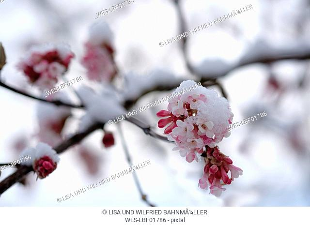 Snow-covered blossoming snowball tree, close-up