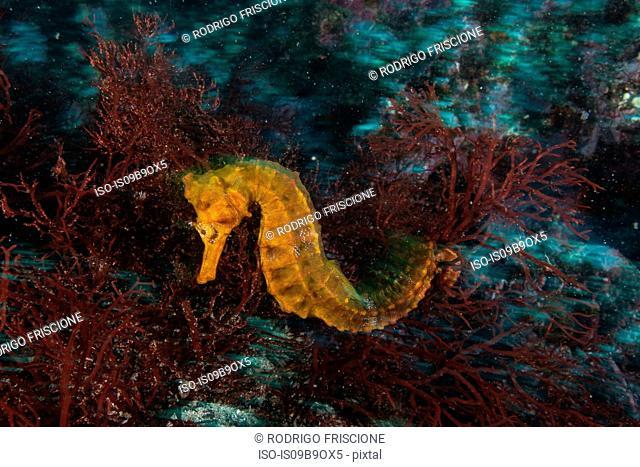 Seahorse by coral, Seymour, Galapagos, Ecuador, South America