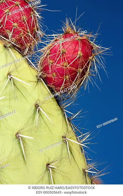 Detalle de Opuntia con sus frutos tunas, higos chumbos,    Català: figuera de moro, figuera de pala, figuera de pic, figuerassa  Jardín Tropical Botánico de...