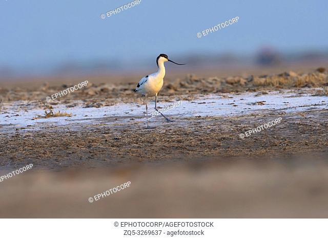Pied avocet, Recurvirostra avosetta, Little rann of Kutch, Gujarat, India
