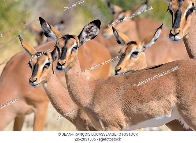 Black-faced impalas (Aepyceros melampus petersi), group of females, Etosha National Park, Namibia, Africa