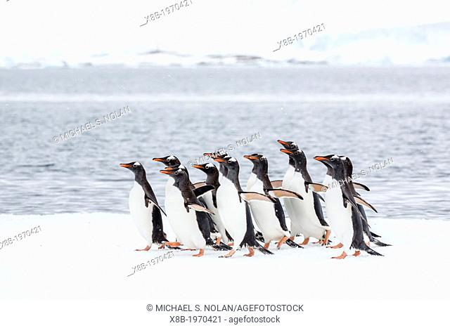 Adult gentoo penguins (Pygoscelis papua) having seen a leopard seal at the edge of their ice floe in Port Lockroy, Antarctica, Southern Ocean