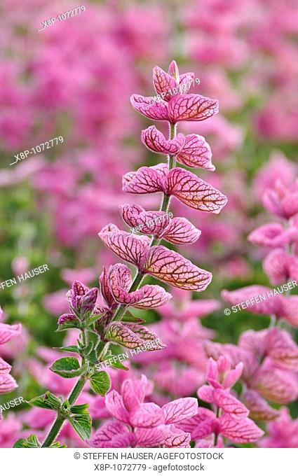 Annual sage Salvia viridis 'Pink Sunday' syn  Salvia horminum 'Pink Sunday'
