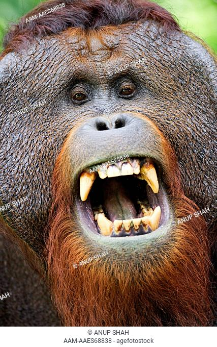 Bornean Orangutan mature male 'Tom' yawning head portrait (Pongo pygmaeus wurmbii). Camp Leakey, Tanjung Puting National Park, Central Kalimantan, Borneo