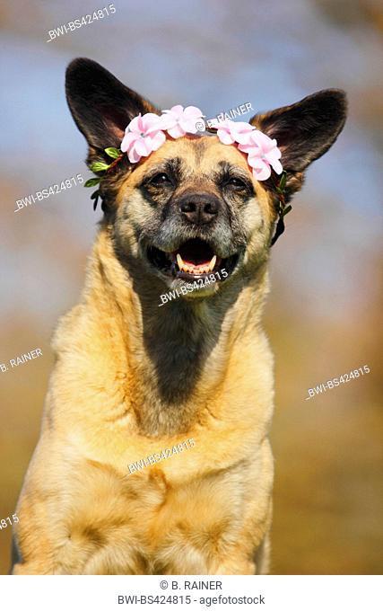 mixed breed dog (Canis lupus f. familiaris), Malinois-mixed breed she-dog with a blossom-headband, portrait, Germany