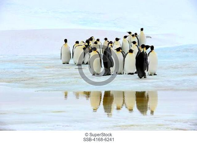 ANTARCTICA, WEDDELL SEA, SNOW HILL ISLAND, EMPEROR PENGUINS Aptenodytes forsteri ON FAST ICE, REFLECTIONS