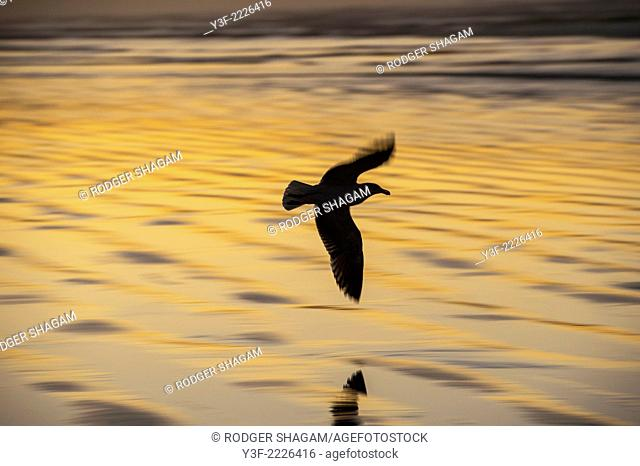 Seagull in flight in the golden glow of sunrise, Muizenberg Beach,Cape Town, South Africa