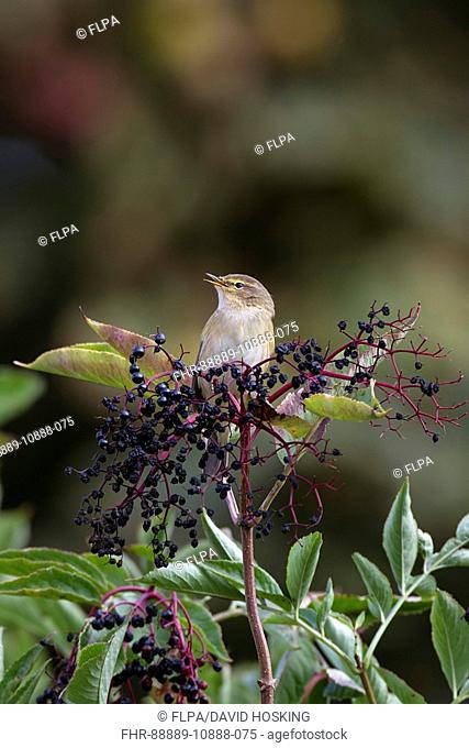 Chiffchaff on Elderberries singing