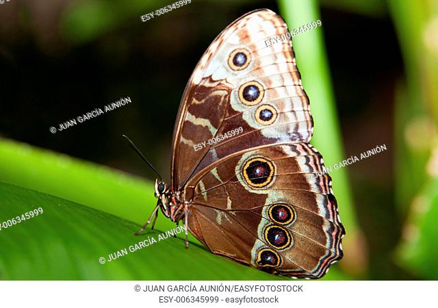 Close-up of a beautiful tropical Owl Butterfly, Caligo Memnon, in delicate shades of blue and cream, with the characteristic eye spot on its lower wing