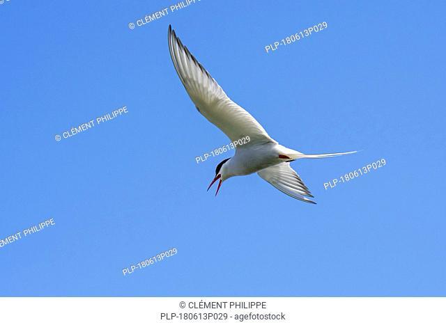 Arctic tern (Sterna paradisaea) calling in flight against blue sky