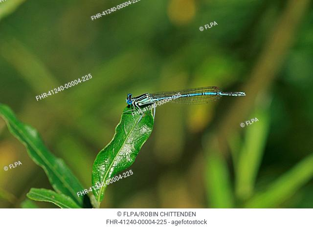 White-legged Damselfly (Platycnemis pennipes) adult male, resting on leaf, Brittany, France, August