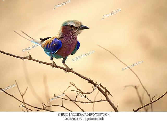 Lilac breasted roller perched on branch (Coracias caudata), South Luangwa National Park, Zambia