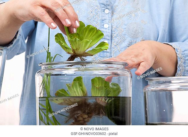 Water Lettuce, Pistia stratiotes, being Placed in Container Water Garden