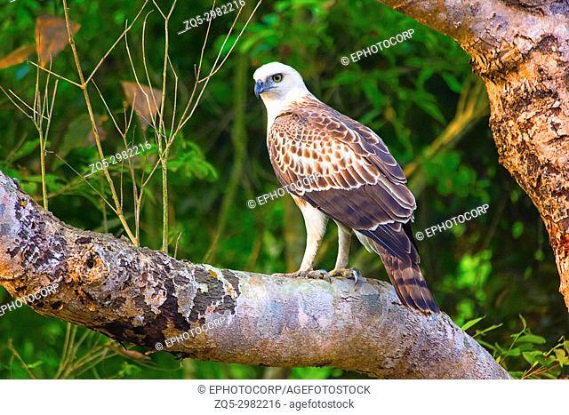 Changeable Hawk Eagle Juv, Nisaetus cirrhatus, Dudhwa Tiger Reserve, Uttar Pradesh, India