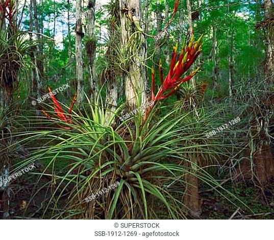 Quill Leaf Air Plant Blooms in Spring Big Cypress National Preserve near Everglades National Park Florida