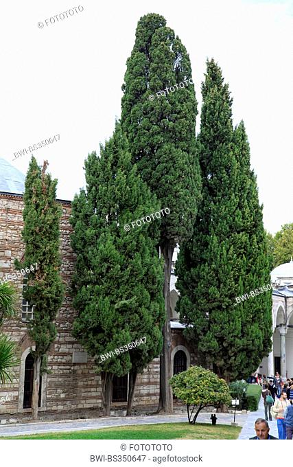 Italian cypress (Cupressus sempervirens), at Topcapi Palace, Turkey, Istanbul