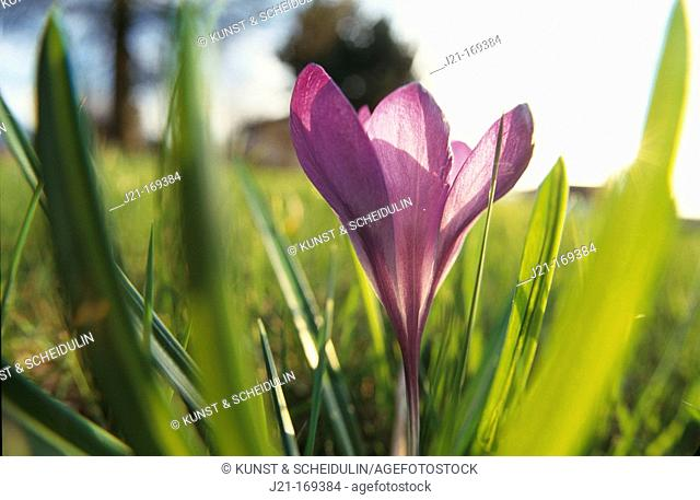 Crocus (Crocus sp.). Germany