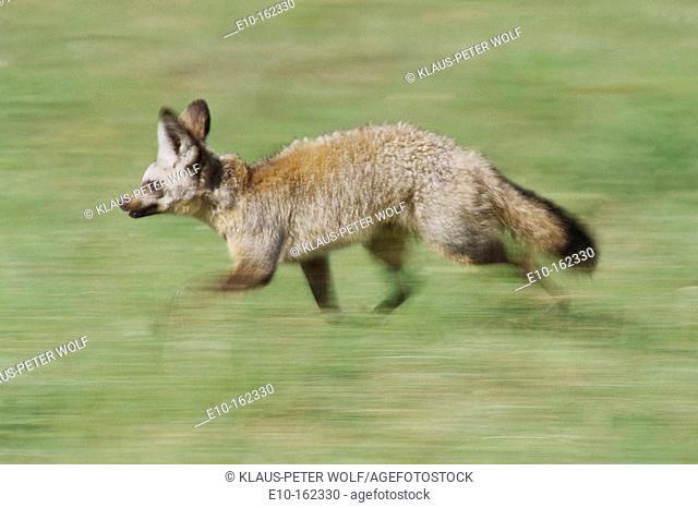 Bat-eared Fox (Otocyon megalotis). Kenya