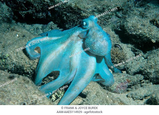 Reef Octopus (octopus briareus) Cozumel