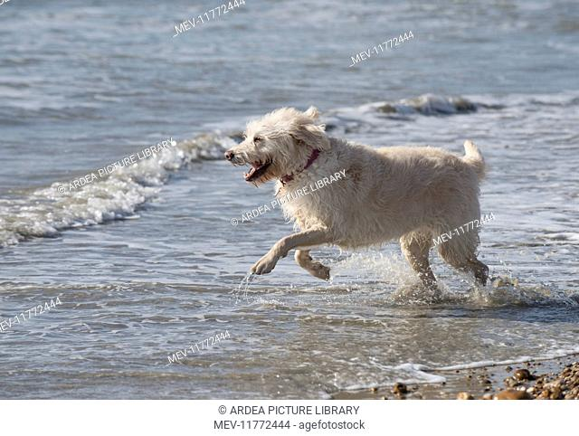 Dog Labradoodle playing in the sea