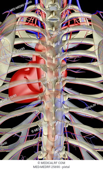 The blood supply of the thorax