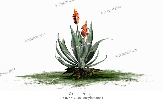 aloe vera plant - separated on white background