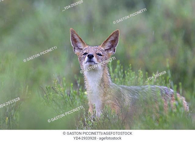 Black-backed Jackal (Canis mesomelas) in the rain, Kgalagadi Transfrontier Park, Kalahari desert, South Africa/Botswana