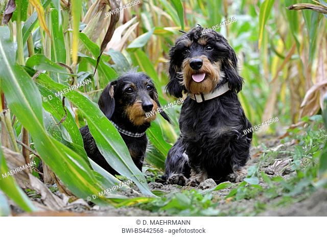 Wire-haired Dachshund, Wire-haired sausage dog, domestic dog (Canis lupus f. familiaris), two Wire-haired Dachshunds sitting together in a maize field, Germany